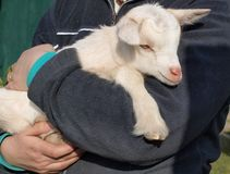Newborn goat, South Bohemia Royalty Free Stock Photos