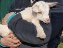 Newborn goat, South Bohemia. Czech Republic Royalty Free Stock Photos