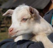 Newborn goat, South Bohemia. Czech Republic Royalty Free Stock Photo