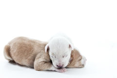 Newborn Golden Puppies Sleeping Royalty Free Stock Images