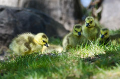 Newborn Gosling Looking Closely into the Grass Royalty Free Stock Photo