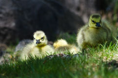 Newborn Gosling Resting in the Green Grass Royalty Free Stock Images