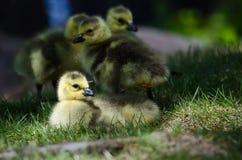 Newborn Gosling Resting in the Green Grass Royalty Free Stock Photo