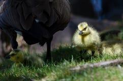 Newborn Gosling Walking in the Green Grass Beside Mom Stock Photography