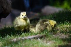 Newborn Gosling Walking in the Green Grass Beside Mom Stock Photo