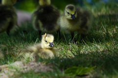 Newborn Gosling Wearing a Pine Needle Hat Royalty Free Stock Photo