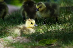 Newborn Gosling Wearing a Pine Needle Hat Royalty Free Stock Image