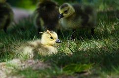 Newborn Gosling Wearing a Pine Needle Hat Royalty Free Stock Image