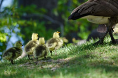 Newborn Goslings Following After Mom Stock Image