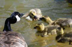 Newborn Goslings Learning to Swim and Argue Under the Watchful Eye of Mother. Newborn Goslings Learning to Swim and Argue Under the Watchful Eye of Their Mother stock photos