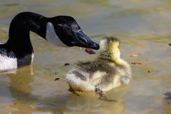 Newborn Goslings Learning to Swim Under the Watchful Eye of Mother. Newborn Goslings Learning to Swim Under the Watchful Eye of Their Mother royalty free stock image