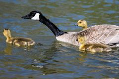 Newborn Goslings Learning to Swim Under the Watchful Eye of Mother. Adorable Newborn Goslings Learning to Swim Under the Watchful Eye of Mother royalty free stock image