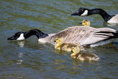 Newborn Goslings Learning to Swim Under the Watchful Eye of Mother. Adorable Newborn Goslings Learning to Swim Under the Watchful Eye of Mother royalty free stock photography
