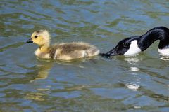 Newborn Goslings Learning to Swim Under the Watchful Eye of Mother. Adorable Newborn Goslings Learning to Swim Under the Watchful Eye of Mother royalty free stock images