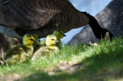 Newborn Goslings Staying Close to Mom Royalty Free Stock Images
