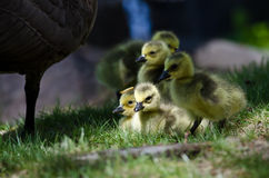Newborn Goslings Staying Close to Mom Royalty Free Stock Image
