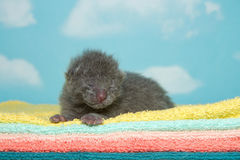 Newborn gray kitten on fluffy towels. Newborn gray kitten, eyes closed, laying on yellow, aqua, peach, orange and green towels with blue sky cloud background Royalty Free Stock Photo
