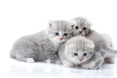 Newborn grey fluffy kittens looking to the camera while playing together and exploring the world around them. Stock Images