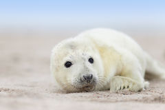 Newborn grey seal baby Royalty Free Stock Photography