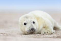 Newborn grey seal baby Royalty Free Stock Photography