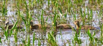 Newborn greylag goose goslings swim Stock Image