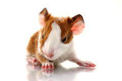 Newborn guinea pig Stock Image