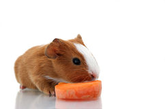 Newborn guinea pig with carrot Stock Photo