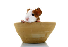 Newborn guinea pig in pottery Royalty Free Stock Image