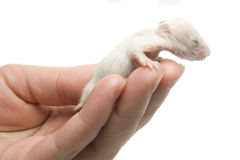 Newborn hamster Stock Photo