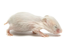 Newborn hamster Stock Images