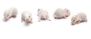 Newborn hamsters Royalty Free Stock Photo