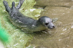 Newborn harbour seal (Phoca vitulina) Royalty Free Stock Photo