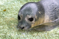 Newborn harbour seal (Phoca vitulina) Royalty Free Stock Photography