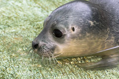 Newborn harbour seal (Phoca vitulina) Royalty Free Stock Photos