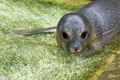 Newborn harbour seal (Phoca vitulina) Stock Images