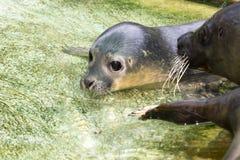 Newborn harbour seal (Phoca vitulina) Stock Images