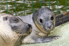 Newborn harbour seal (Phoca vitulina) Stock Image