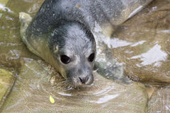 Newborn harbour seal (Phoca vitulina) Stock Photos