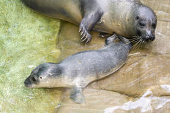 Newborn harbour seal (Phoca vitulina). Harbour seal (Phoca vitulina) baby one hour after birth and mother Royalty Free Stock Photos
