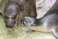 Newborn harbour seal (Phoca vitulina) Stock Photography