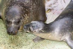 Newborn harbour seal (Phoca vitulina) Stock Photography