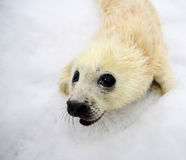 Newborn harp seal pup Stock Photos