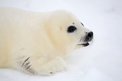 Newborn harp seal pup Stock Image