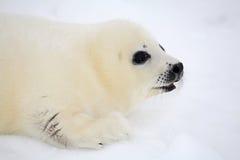 Newborn harp seal pup stock image