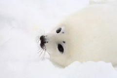 Newborn harp seal pup Stock Images