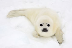 Newborn harp seal pup. Baby harp seal pup on ice of the White Sea Royalty Free Stock Image