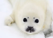 Newborn harp seal pup. Baby harp seal pup on ice of the White Sea Royalty Free Stock Images