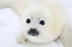 Newborn harp seal pup. Baby harp seal pup on ice of the White Sea Stock Photography