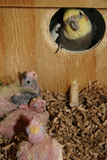 Newborn Hatchlings in Nest Box Stock Photography