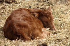 Newborn Heifer Calf (back view). Newborn calf laying down on prairie grass. this calf is only a few hours old and is resting still Stock Photography